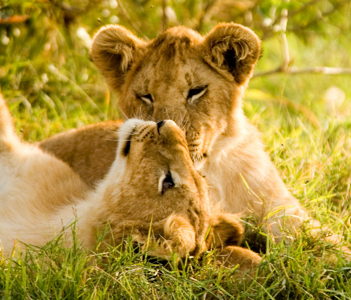 Lion cubs, Masai Mara 2005