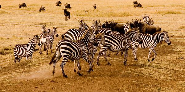 A gaggle of zebras, Masai Mara, Kenya 2005