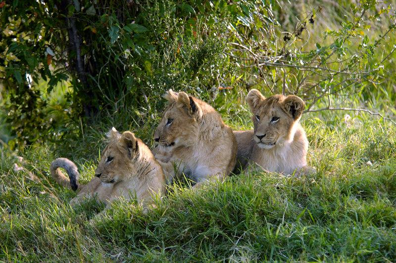 A lion family, Masai Mara Kenya 2005