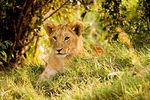Lion cub, Masai Mara 2005