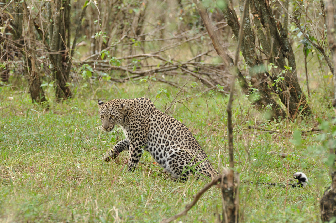 The leopard →<br /> <br /> Going bush near Rekero Tented Camp in the Mara Reserve to watch a leopard stalk an impala.