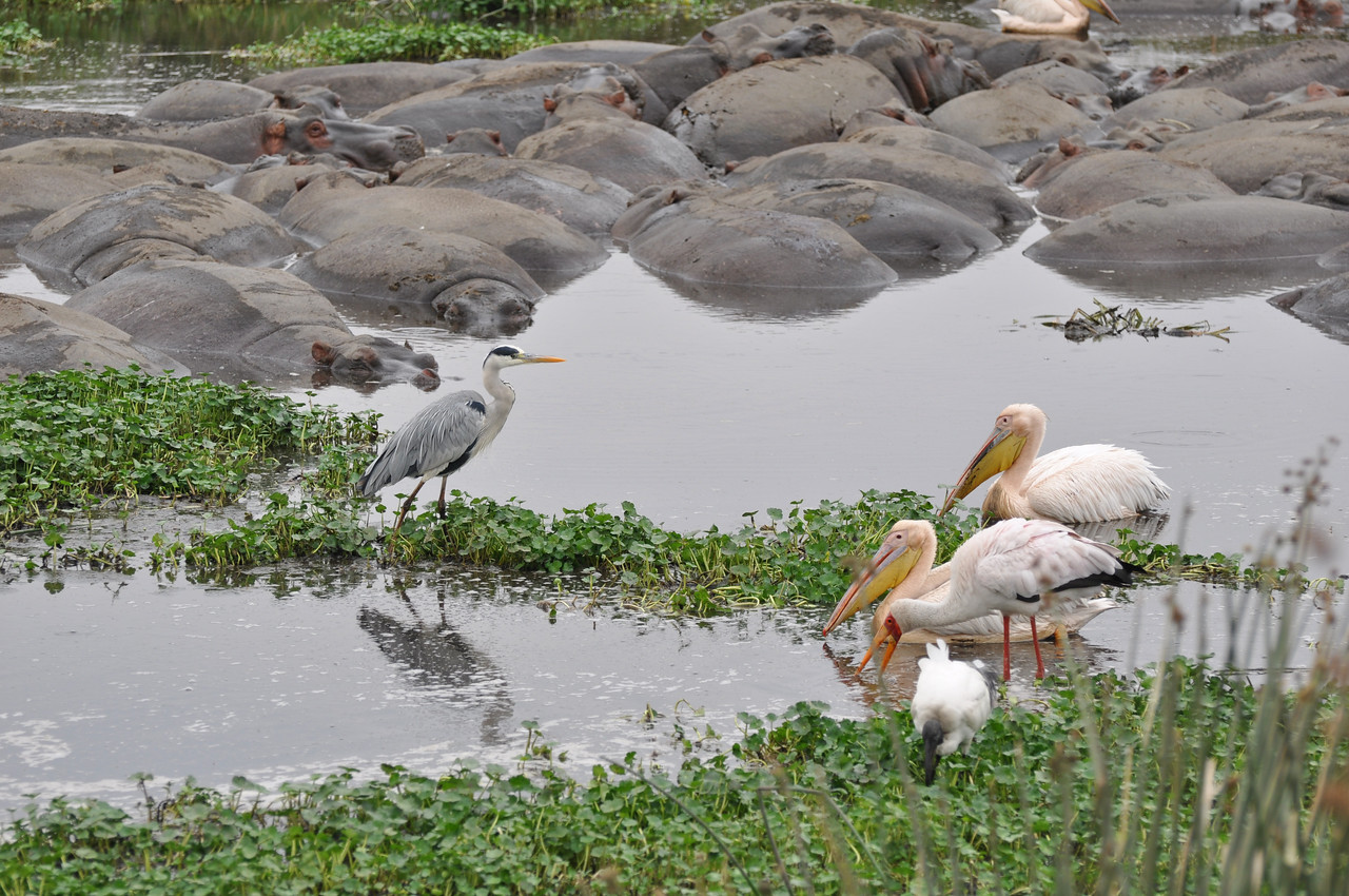 The hippo pool at Ngorongoro Crater →<br /> <br /> The hippo pool in Ngorongoro Crater - so much more than hippos. The best birding of the trip!