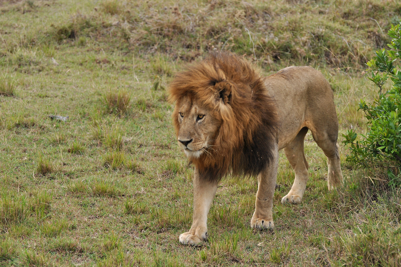 ← A lion in the Mara reserve<br /> <br /> The predators - we saw a leopard, 6 cheetahs, 181 lions, 73 spotted hyena and many black-backed and golden jackals over the 23 days that we spent in the national parks.<br /> <br /> New animal species: Grant's gazelle, Thomson's gazelle, banded mongoose, topi, golden jackal, Coke's hartebeest, olive baboon, large-spotted genet and palm civet.