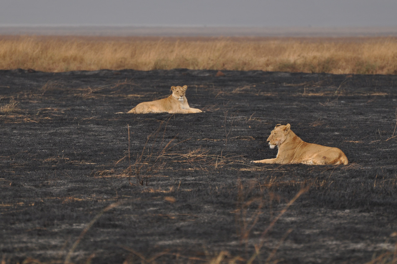 Lions in the Ngorongoro Crater, Tanzania →<br /> <br /> The sight of sixteen lions lying on a recent burn in Ngorongoro Crater. We assumed that they were enjoying the warmth of the still smouldering burn.
