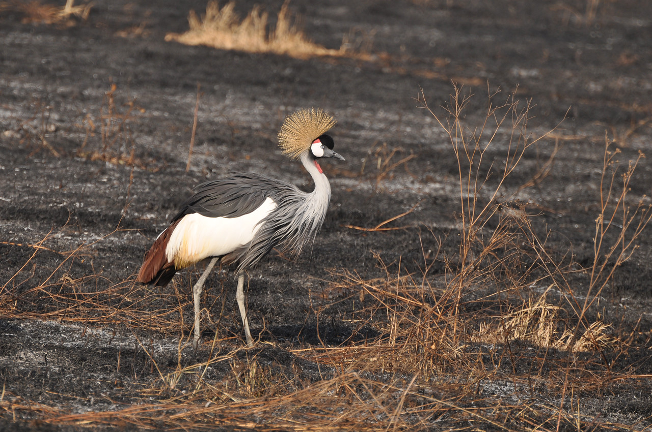 A grey crowned crane →<br /> <br /> We loved the crowned cranes in the Ngorongoro Crater. They were beautiful as they displayed in the early morning light.<br /> <br /> Over one hundred species of birds, some of which were new to us. We especially enjoyed the grey crowned cranes, bare-faced go-away birds, yellow-collared lovebirds, superb starlings, palm swifts, lilac-breasted rollers, white-headed buffalo weavers, red-cheeked Cordon-bleus, red and yellow barbets, African firefinches, little bee-eaters and southern ground hornbills.