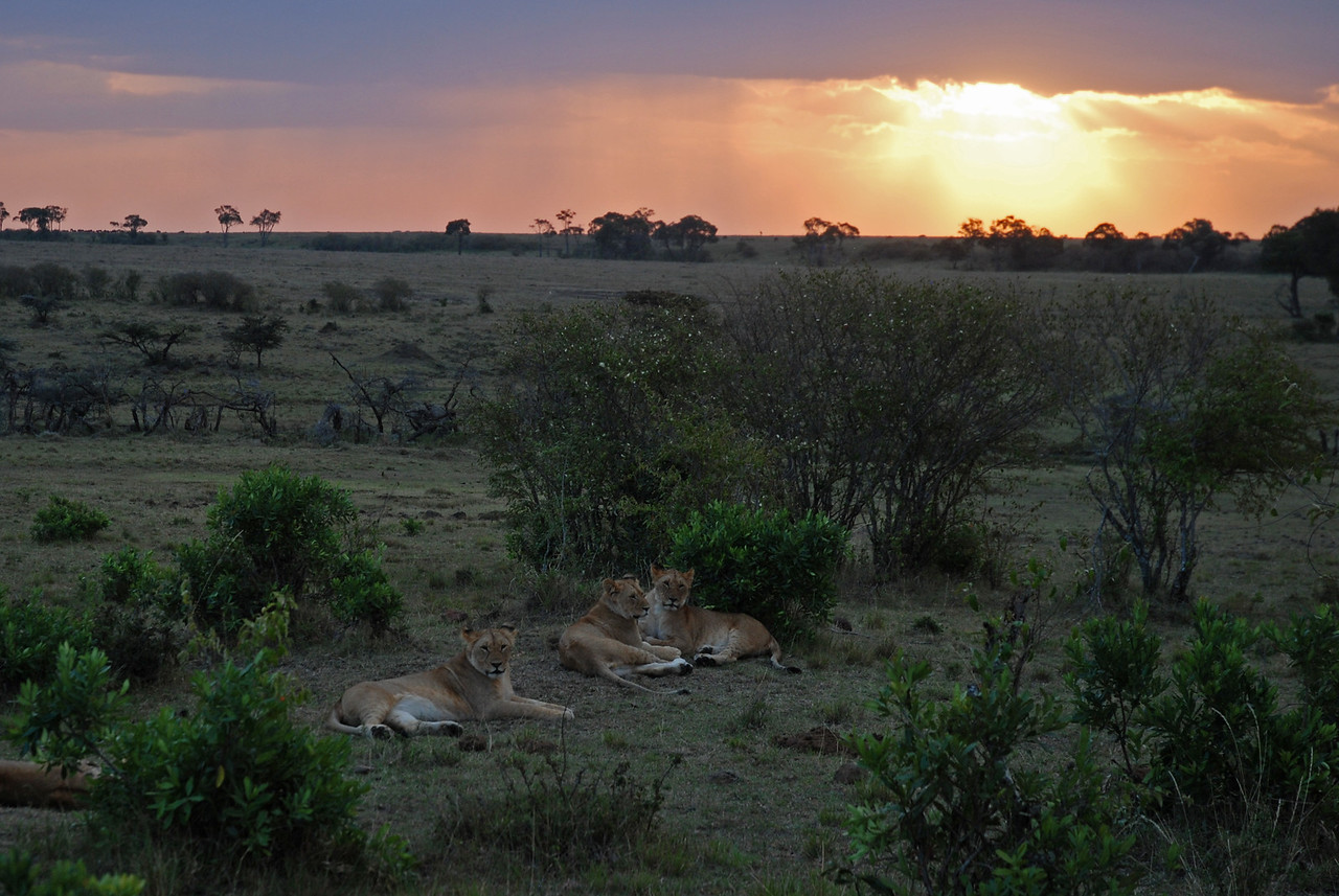 Sunset with the lions in the Mara North Conservancy , Kenya - our first of many lions. →<br /> <br /> The sunsets - such spectacular colours!