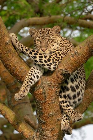 Kenya-Uganda Big Cats 2018