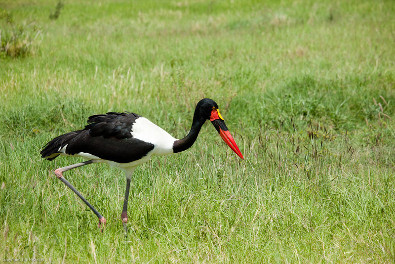 Amboseli Saddle Billed Stork