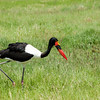 Amboseli Saddle Billed Stork