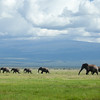 Amboseli Elephants in Kiliminjaro foothills