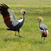 Amboseli Crowned Crane courting display
