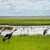 Amboseli Crowned Crane