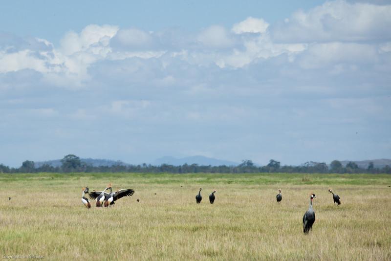 Amboseli field of Crowned Cranes