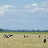 Amboseli field of Crowned Cranes