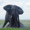 Amboseli lone old Elephant scratching