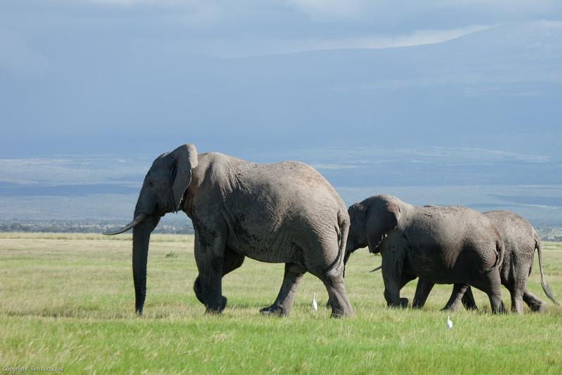Amboseli Elephants in Kiliminjaro foothills