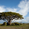 Amboseli Tree late afternoon