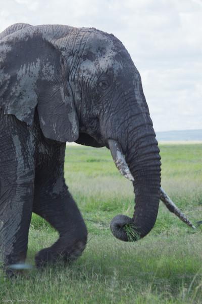 Amboseli lone old Elephant