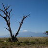 Amboseli Dead Tree in front of Kiliminjaro