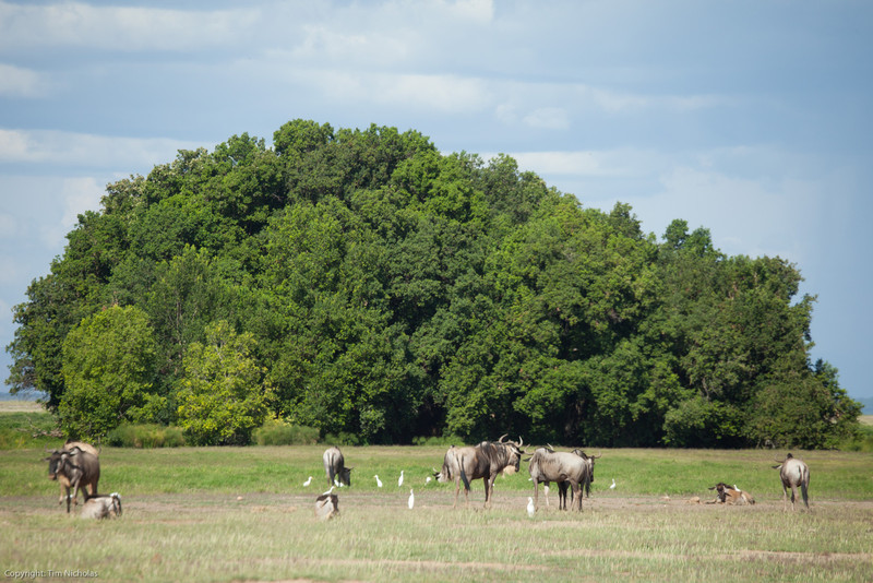 Amboseli National Park Wildebeest