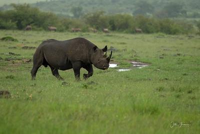 Black Rhino, Masai Mara