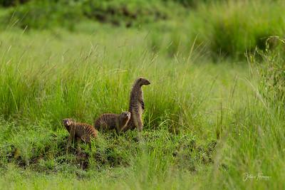Banded Mongooses, Masai Mara