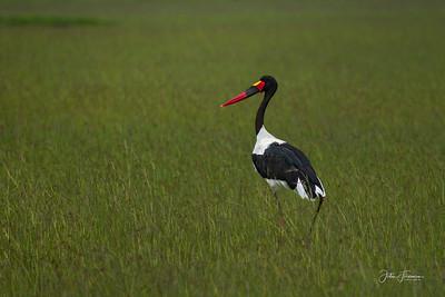 Saddle-billed Stork, Masai Mara