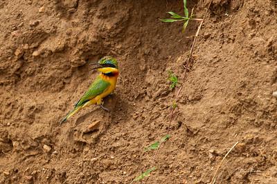 Cinnamon-chested Bee-eater, Masai Mara