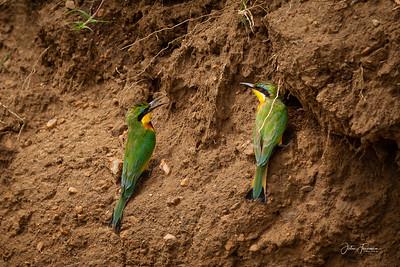 Cinnamon-chested Bee-eaters, Masai Mara