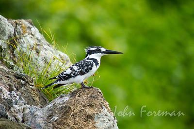 Pied Kingfisher, Mfangano