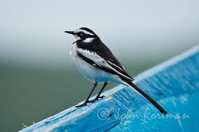 African Pied Wagtail, Mfangano