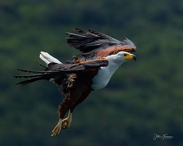 African Fish Eagle, Mfangano