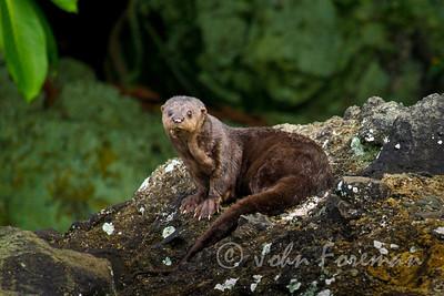 Spotted-necked otter, Kenya