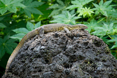 Monitor Lizard, Lake Victoria