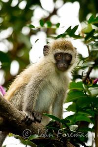 Vervet monkey, Mfangano Island