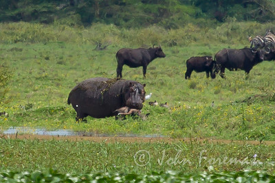 A hippo attacking and killing a young water buck!