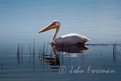 Great White Pelican, Nakuru