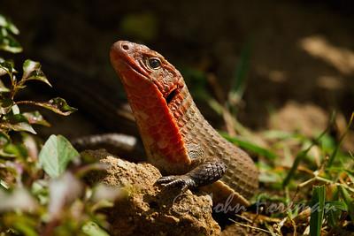 Sudan plated lizard, Watamu
