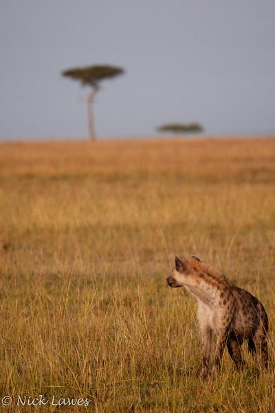 Prowling hyena