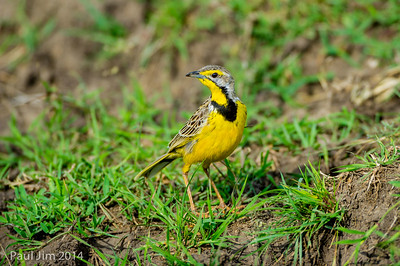 Yellowthroated Long Claw, Macronyx croceus
