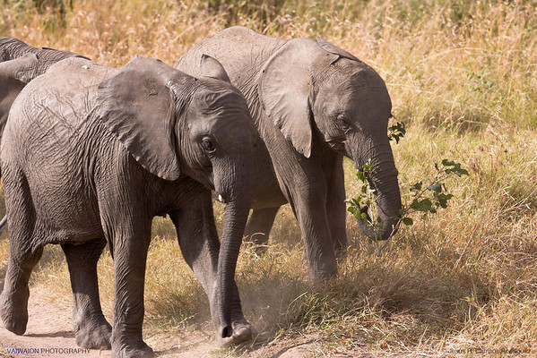 African bush elephants. Maasai Mara. (3/3)
