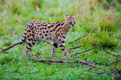 Serval, Leptailurus serval