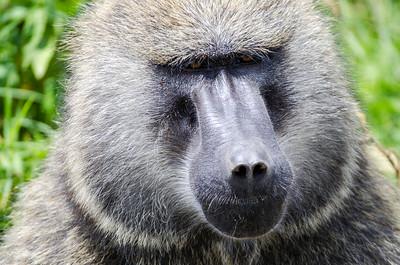 Monkeys, lemurs and apes