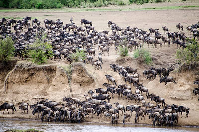 Great Wildebeest Migration in Masai Mara