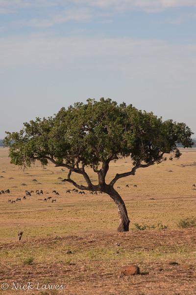 Lone acacia tree