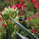 Variable Sunbird