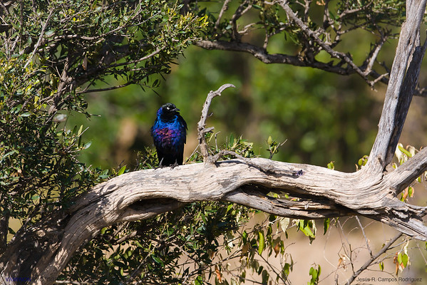 A Rueppell's glossy-starling, very common in equatorial Africa, along with the superb starling