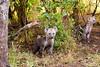 Pesky hyena pups