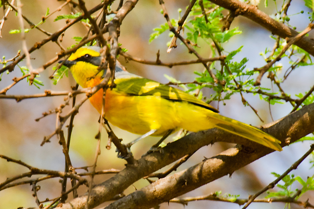 Sulfur-breasted Bushshrike