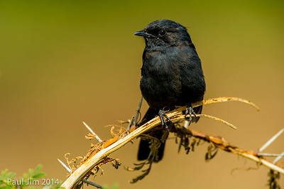 Southern black flycatcher, Melaenomis pammelaina